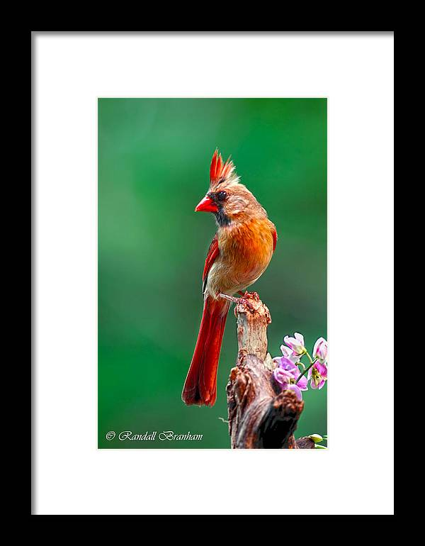 Female Posing Pretty On Snag Wrapped With Pea Vine Framed Print featuring the photograph Female Cardinal Posing Pretty by Randall Branham