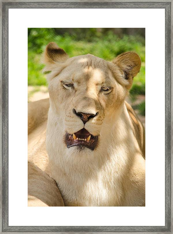 Picture of a female lion head