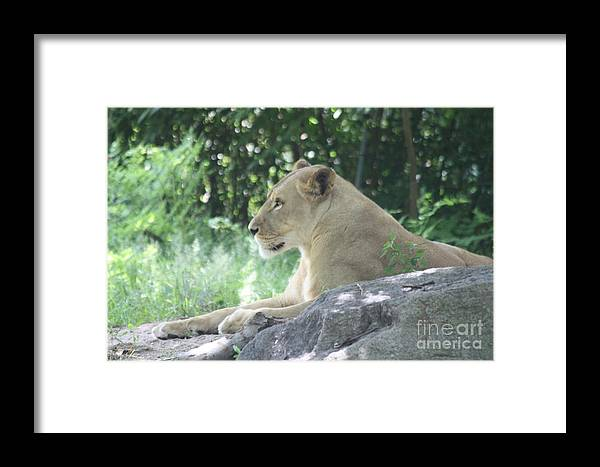 Female Lion On Guard Framed Print featuring the photograph Female Lion On Guard by John Telfer