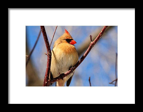 Cardinal Framed Print featuring the photograph Female Northern Cardinal by Michael Allen