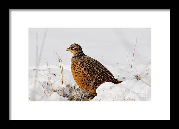 Framed Print featuring the photograph Female Pheasant by Marty Fancy