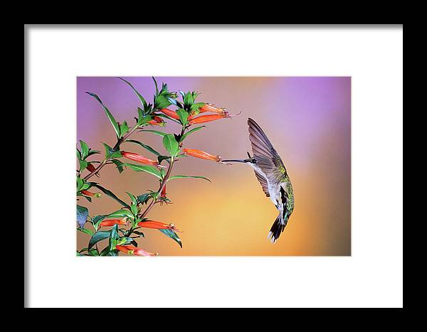 Photography Framed Print featuring the photograph Female Ruby-throated Hummingbird by Animal Images