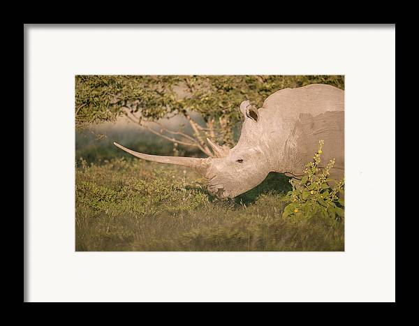 Adult Framed Print featuring the photograph Female White Rhinoceros Grazing by Science Photo Library
