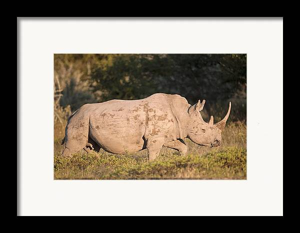 Adult Framed Print featuring the photograph Female White Rhinoceros by Science Photo Library