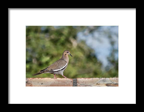 Morning Dove Framed Print featuring the photograph Fence Walker by Robert Bales