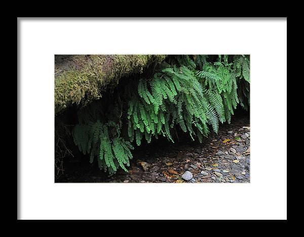 Fern Canyon Framed Print featuring the photograph Ferns Over Home Creek Fern Canyon by Scott Lenhart