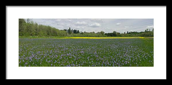 Field Of Camas & Western Buttercup; Meadow Of Purple & Yellow Wildflowers; Spring Wildflowers; Horiz Framed Print featuring the photograph Field Of Camas And Western Buttercup by John Higby