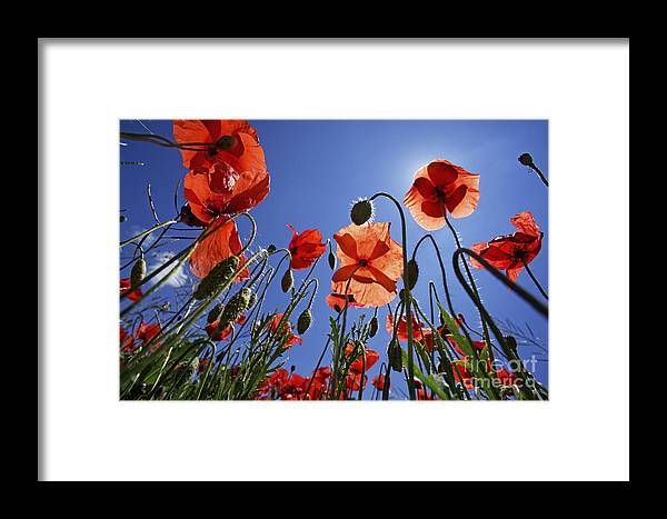Tranquil Scene Framed Print featuring the photograph Field Of Poppies At Spring by Sami Sarkis