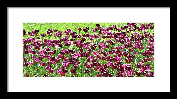 Duane Mccullough Framed Print featuring the photograph Field Of Purple Tulips 1 by Duane McCullough