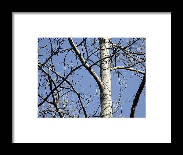 Birch Framed Print featuring the photograph Fighting Birch by Dave Dresser