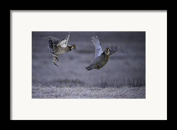 Prairie Chickens Framed Print featuring the photograph Fighting Prairie Chickens by Thomas Young