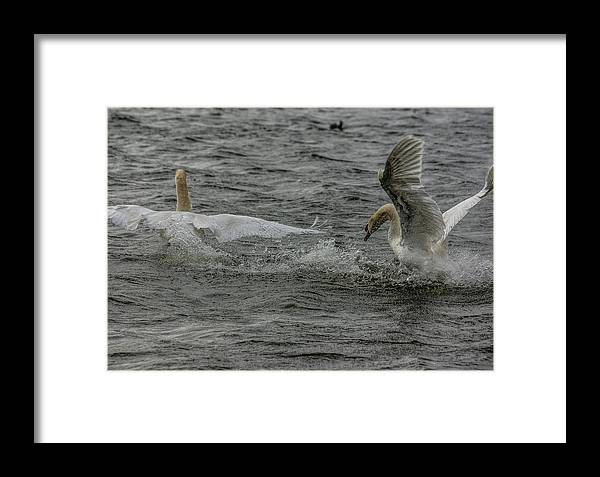 Swan Framed Print featuring the photograph Fighting Swans by Trevor Kersley