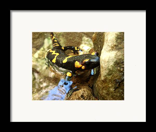 Animals Framed Print featuring the photograph Fire Salamander by Lucy D