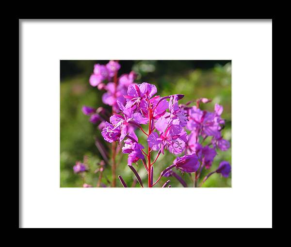 Fire Framed Print featuring the photograph Fire Weed 3 by Lew Davis