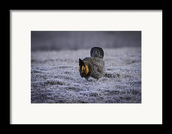 Prairie Chicken Framed Print featuring the photograph First Light 4 by Thomas Young