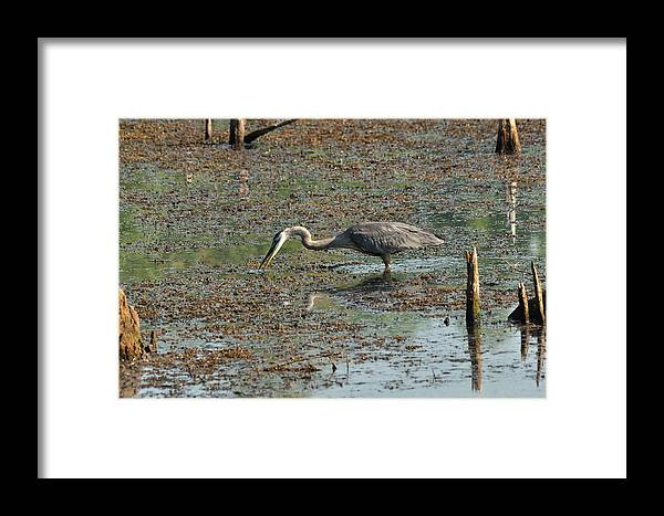 Blue Framed Print featuring the photograph Fishing Blue Heron by Valarie Davis