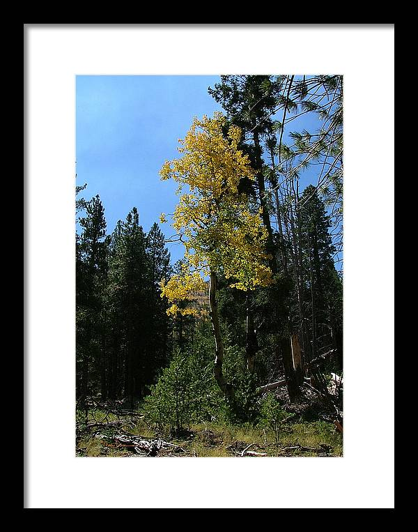 Mary Dove Art Framed Print featuring the photograph Flagstaff Aspens 786 by Mary Dove