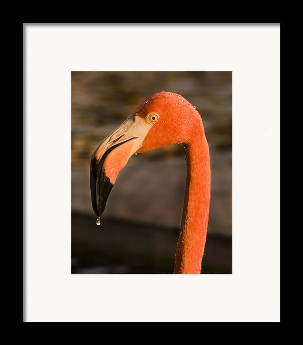 3scape Framed Print featuring the photograph Flamingo by Adam Romanowicz