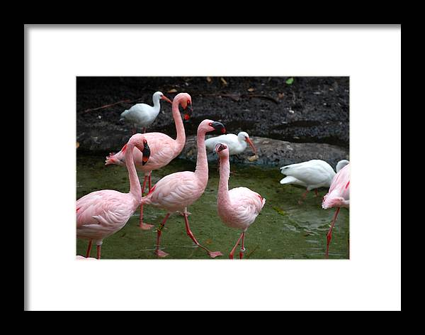 Flamingo Framed Print featuring the photograph Flamingo by Armani Ballesteros