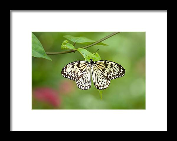 Butterfly Framed Print featuring the photograph Fleeting Beauty by Cheryl Schneider