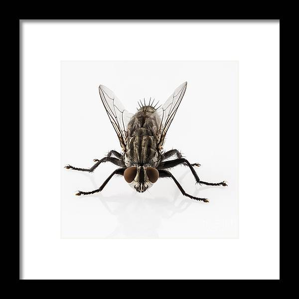 Animal Framed Print featuring the photograph Flesh Fly Isolated by Pablo Romero