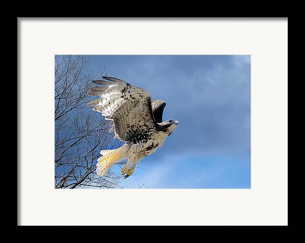 Redtail Hawk Framed Print featuring the photograph Flight Of The Red Tail by Bill Wakeley