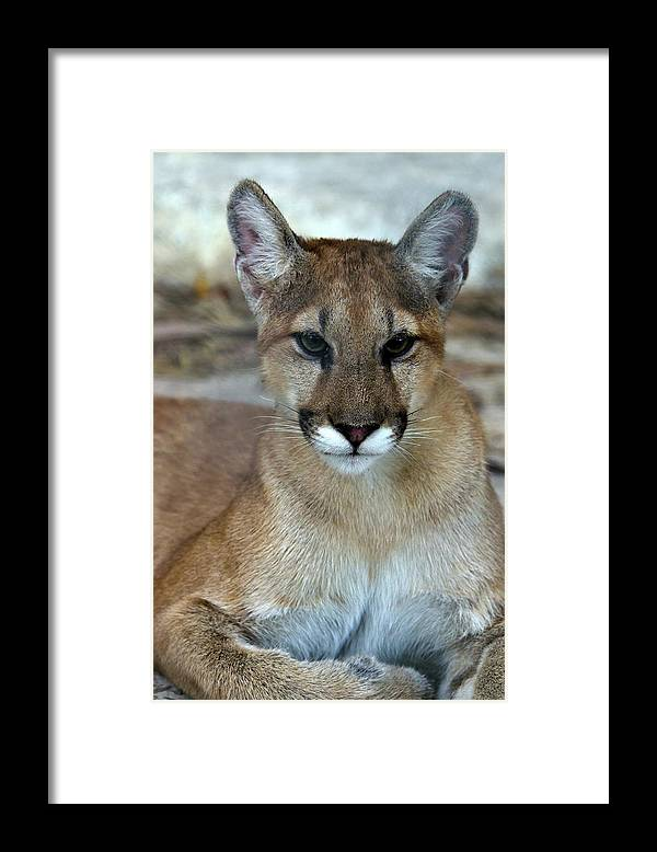 Animal Themes Framed Print featuring the photograph Florida Panther, Endangered by Mark Newman