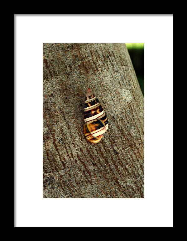 Animal Photography Framed Print featuring the photograph Florida Tree Snail. Everglades N.p. by Chris Kusik