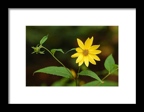 Flower Framed Print featuring the photograph Flower And Bud by James DeFazio