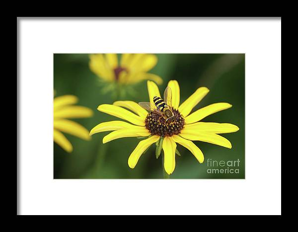 Clarence Holmes Framed Print featuring the photograph Flower Fly And Yellow Flowers by Clarence Holmes
