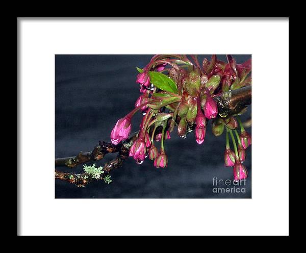 Spring Framed Print featuring the photograph Flowering Cherry Trees Buds by Ellen Miffitt