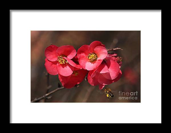 Bubbleblue Framed Print featuring the photograph Flowering Quince With Bee by Joy Watson