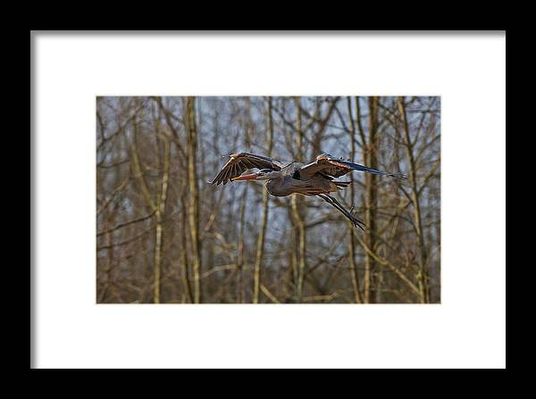 Blue Heron Framed Print featuring the photograph Fly By by Torrey McNeal