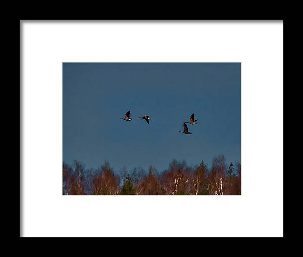 Bird Framed Print featuring the photograph Flyers -leif Sohlman by Leif Sohlman