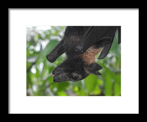 Flying Fox Framed Print featuring the photograph Flying Fox by Jessica Davis