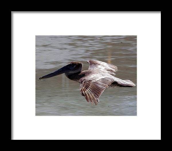 A Brown Pelican . Framed Print featuring the photograph Flying Pelican by Dennis Sotolongo