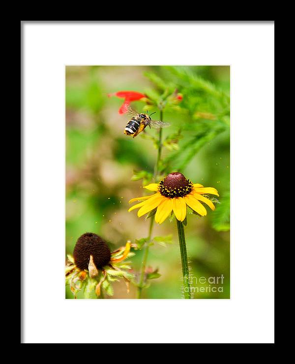 Bee Framed Print featuring the photograph Flying Pollen by Cheryl McClure