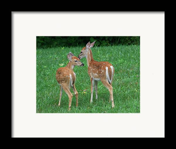 Deer Framed Print featuring the photograph Fond Fawns by Charles Warren