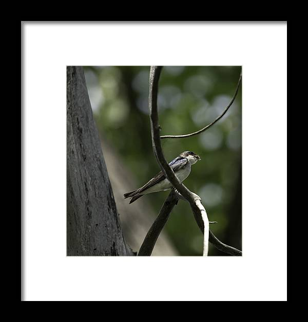 Tree Swallow (tachycineta Bicolor) Framed Print featuring the photograph Food For The Young by Thomas Young