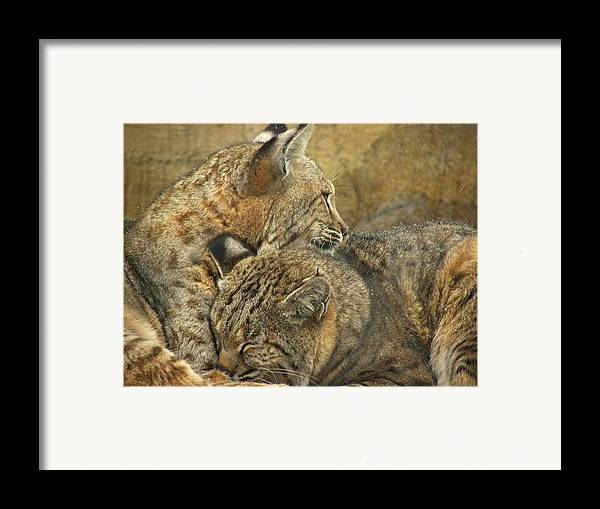 Bobcats Framed Print featuring the photograph Forever by Teresa Schomig