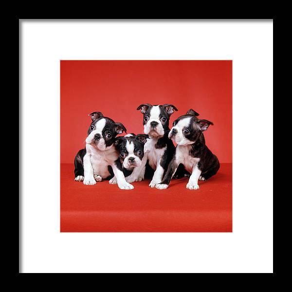 Photography Framed Print featuring the photograph Four Boston Terrier Puppies On Red by Vintage Images