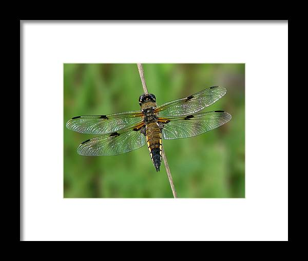 Four-spotted Skimmer Framed Print featuring the photograph Four-spotted Skimmer by Judith Groeger