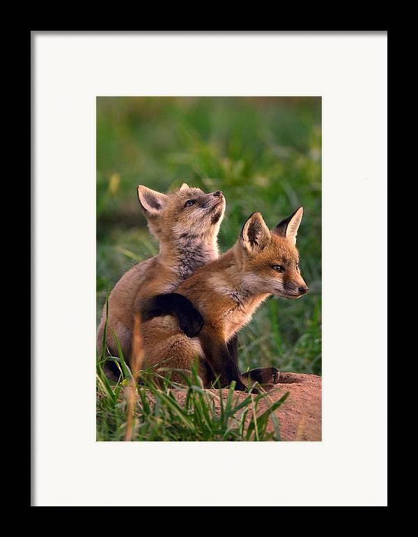 Fox Framed Print featuring the photograph Fox Cub Buddies by William Jobes