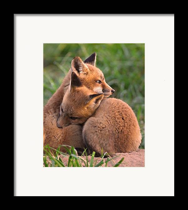 Fox Framed Print featuring the photograph Fox Cubs Cuddle by William Jobes