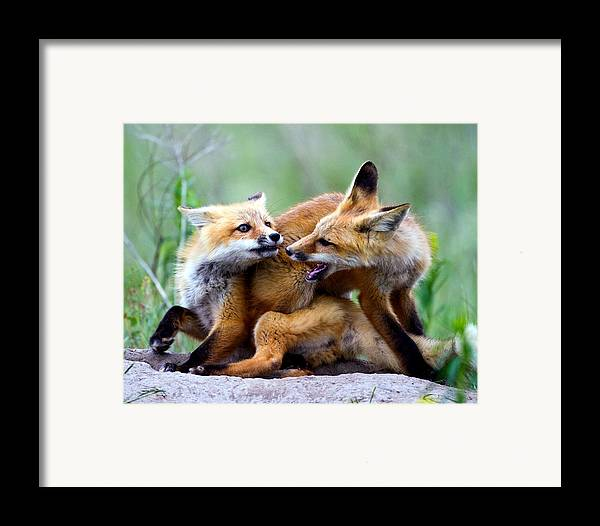 2012 Nbc Weather Calendar Framed Print featuring the photograph Fox Kits At Play - An Exercise In Dominance by Merle Ann Loman