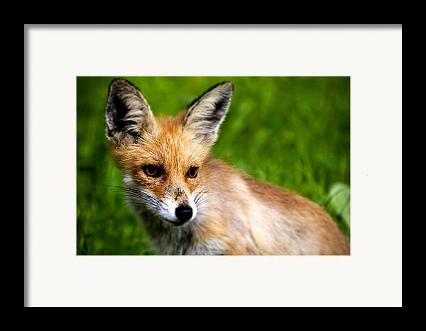 Young Framed Print featuring the photograph Fox Pup by Fabrizio Troiani