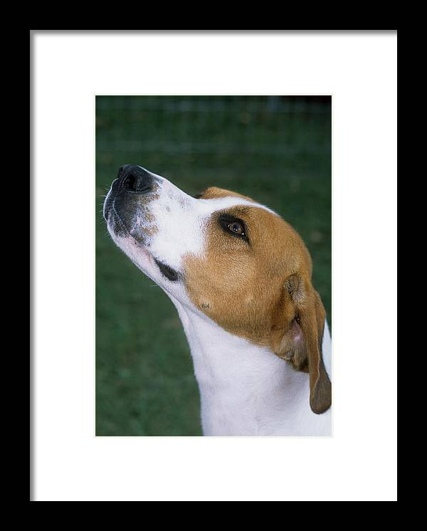Animal Framed Print featuring the photograph Foxhound by Jeanne White