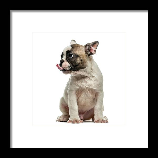 Pets Framed Print featuring the photograph French Bulldog 3 Months Old by Life On White
