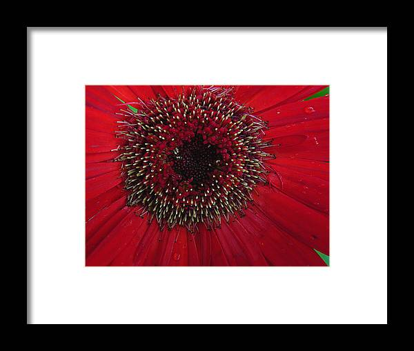 Floral Framed Print featuring the photograph Fresh As A Daisy by Judy Wanamaker