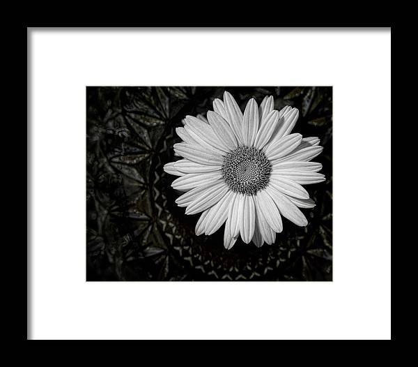 Daisy Framed Print featuring the photograph Fresh Cut by Kristi Swift